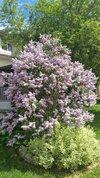 LilacClose.jpg