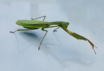 mantis1.jpeg